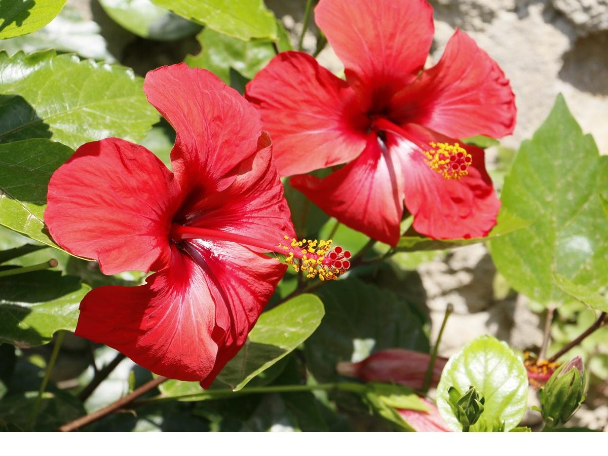 Цветок гибискуса (Hibiscus sabdariffa)
