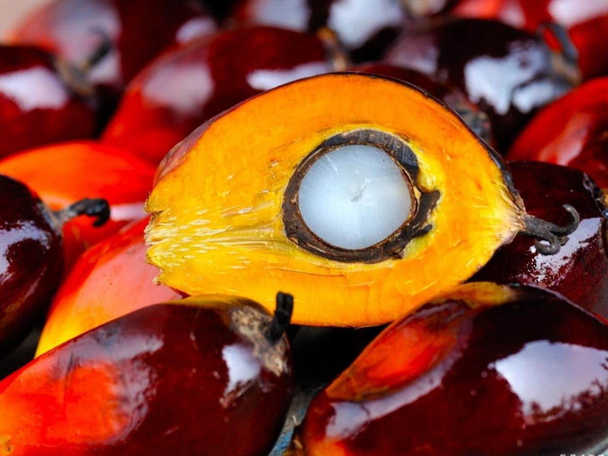 Плоды у маслянистой пальмы