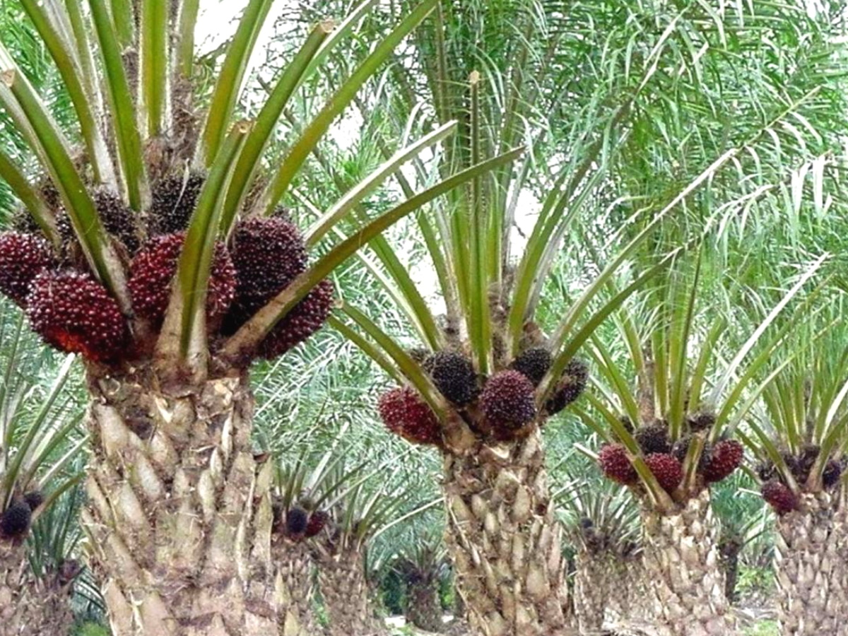 Масло красной пальмы