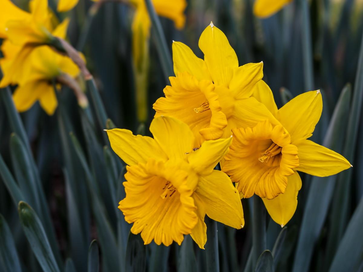 Нарцисс цветы