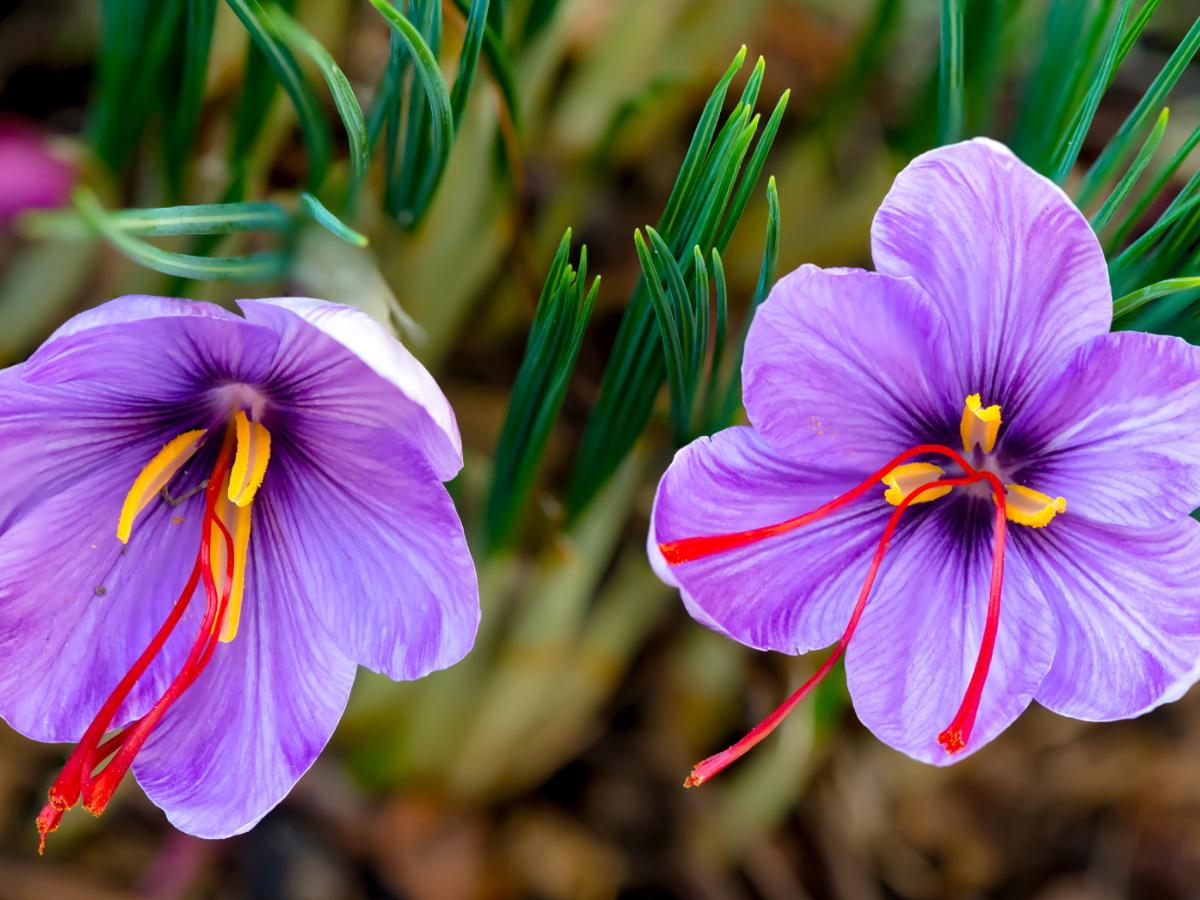 Шафран  Crocus sativus
