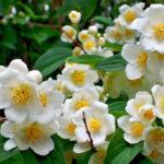 жасмин белый цвет